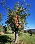 Immer wieder übervolle Apfelbäume und Streuobstwiesen im Taubertal