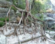 Dieser Baum, besser sein Wurzelwerk, nahe des Hirschgrundkegels macht deutlich, was Erosion im Elbsandsteingebirge bedeutet