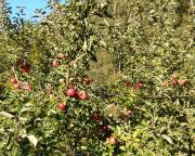 Auch das ist das Bielatal - Herbstsonne im vollen Apfelbaum
