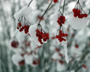 Zum Beispiel dieses: Vogelbeeren unter Eis und Schnee – hat doch was, oder?