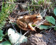 Hier die Auflösung, ein richtiger echter Frosch, ein Grasfrosch