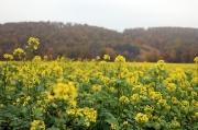 24- Blühende Rapsfelder im Novembernebel, gefunden am Rande des Ultralaufes KILL im Leine-Bergland bei Alfeld an der Leine
