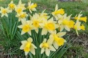 31 - Osterglocke oder besser Gelbe Narzisse (Narcissus pseudonarcissus), aufgenommen im März 2019 in Hinterhermsdorf