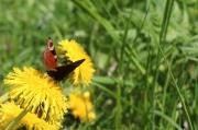 34 - Besuchte Butterblumen am Rennsteig, aufgenommen am 18.05.2019