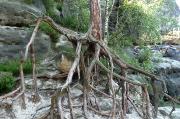 54 - Wurzeln verweisen eindrucksvoll auf die Erosion des Elbsandsteingebirges