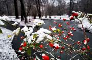 71 – Hagebuttenrosen im ersten Schnee des Winters im Branitzer Park Cottbus